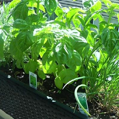 Herb Garden • How to Start One